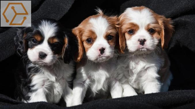 Adoption Animaux Donne Chiots Cavalier King Charles Lorraine Moselle 57 Full Annonces