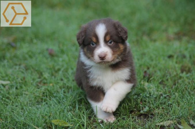 Adoption Animaux Chiot Type Berger Australien Femelle A Donner Nord Pas De Calais Nord 59 Full Annonces