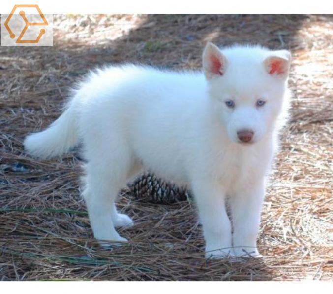 Adoption Animaux A Donner Chiot Husky Siberien Femelle Bourgogne Yonne 89 Full Annonces