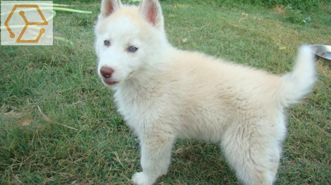 Adoption Animaux Deux Chiots Husky Siberien A Donner Bretagne Finistere 29 Full Annonces