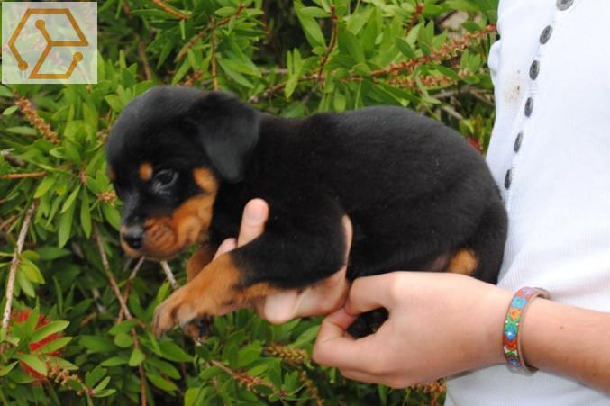 Adoption Animaux Chiots Type Rottweiler Femelle A Donner Rhone Alpes Haute Savoie 74 Full Annonces