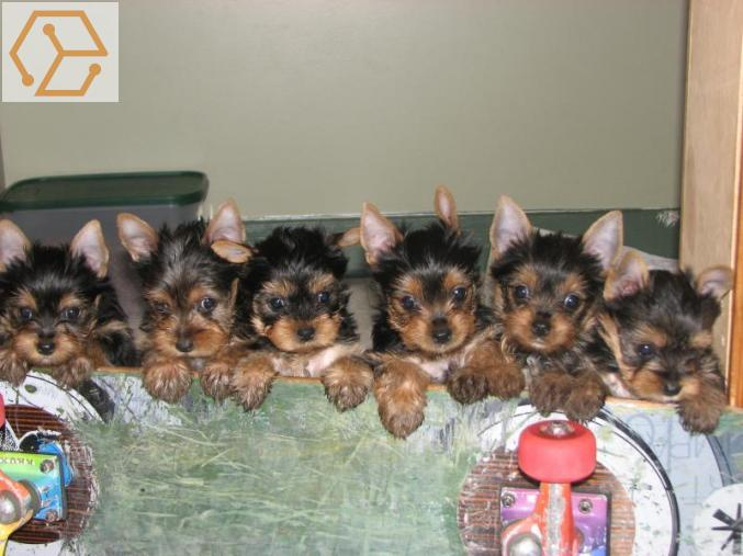 Vente Animaux Chiots Yorkshire Terrier Mini Lof De 3 Mois A Donner Ile De France Idf Paris 75 Full Annonces