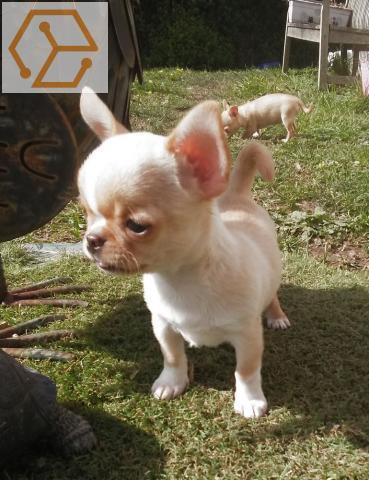 Autres Adorable Chiot Chihuahua A Donner Ile De France Idf Paris 75 Full Annonces
